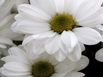 Margueritte blanche aqaurelle