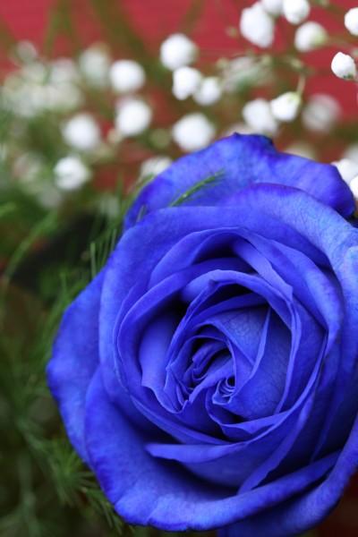 Rose Bleu vertical