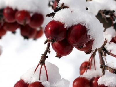 cerise dans la neige