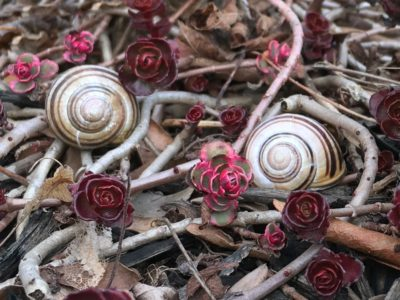 escargots du printemps