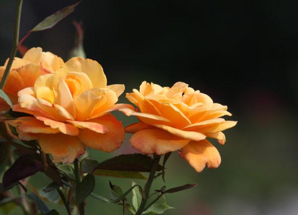 3 roses orangées