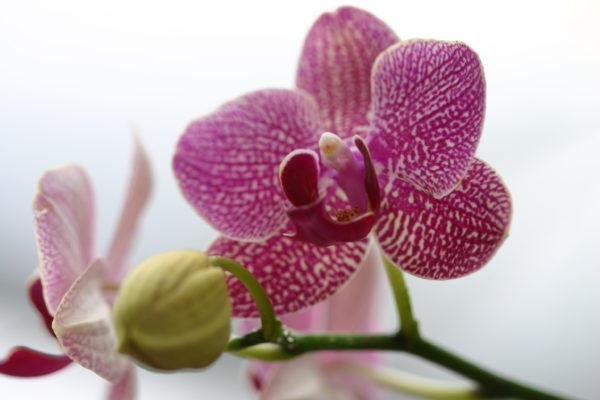 orchidée rose et son bouton de fleurs