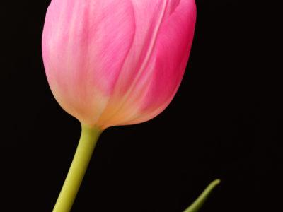 Voeux une carte Tulipe Rose